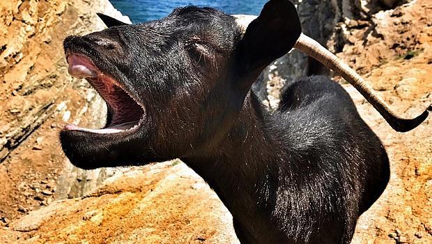 При дивите кози на о.Дрения