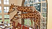 Да обядвате на една маса с жирафи!