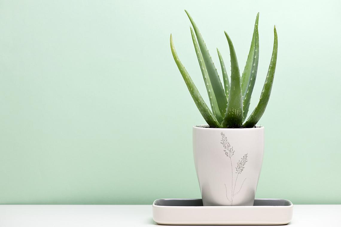 """Алое със своите дълги листа и наистина """"скулптурни"""" форми е идеалното растение, както за дома, така и за офиса. Той филтрира въздуха, произвежда кислород и подобрява благосъстоянието. Непретенциозността на алое бие всички - трябва му просто вода на всеки две седмици и това е!"""
