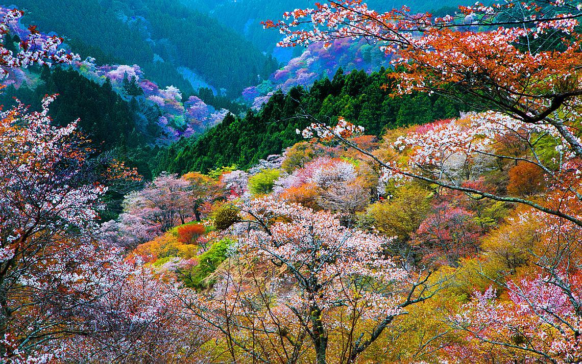 Цъфналите вишни в планина Йошино